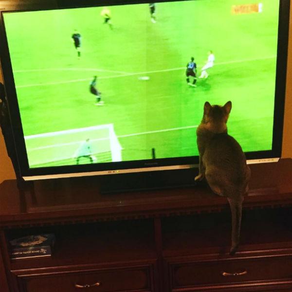 Кошка смотрит футбол вместе с Леонидом Агутиным