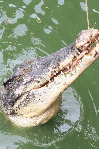 Этот крокодил настоящий!