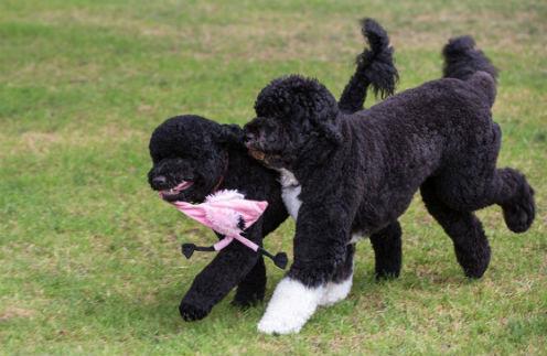 Санни (справа) и Бо на лужайке у Белого дома