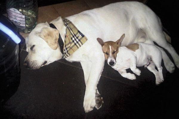 Лабрадор звезды Уля (на фото с джек-рассел- терьером Лукешей) так тосковал по хозяйке, что сам заболел раком – у него лимфосаркома