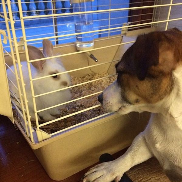 Кролик знакомится с собакой