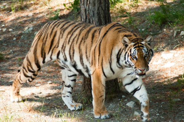 Тигрица Машенька – звезда зоопарка в Геленджике
