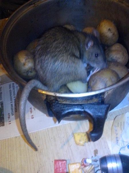 Александр позволял крысам ползать по продуктам питания и столу