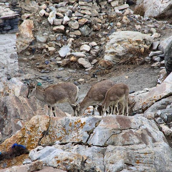 «Вчера в суматохе не сопоставил приход со склонов в монастырь Ронгбук диких коз и начавшееся через несколько минут землетрясение», - пишет Валдис Пельш