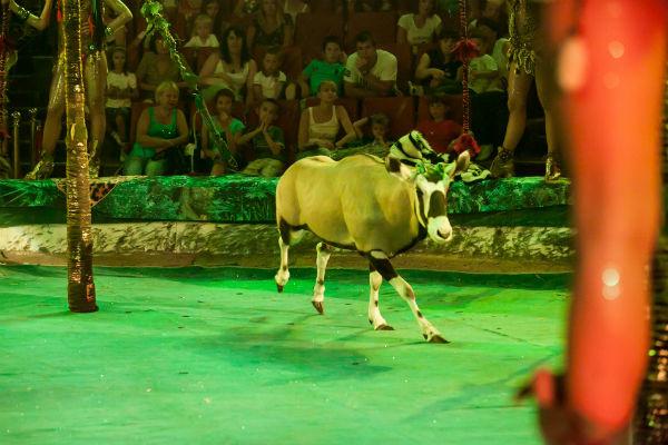 Талантливая антилопа Джафар из семейства ориксов