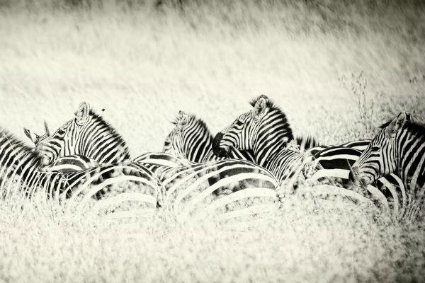 Африканские зебры в работе Ольги Мичи