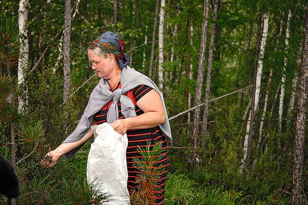 Местные травники каждый день отправляются в тайгу за редкими растениями